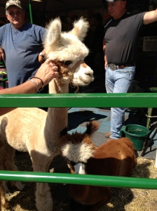Alpaca. My new favorite animal.