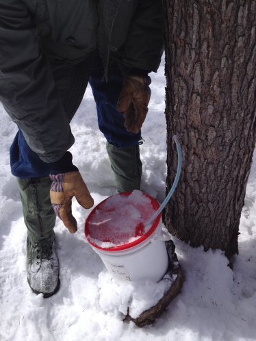 Tapping a maple tree. However, it was too cold for the maple to flow...